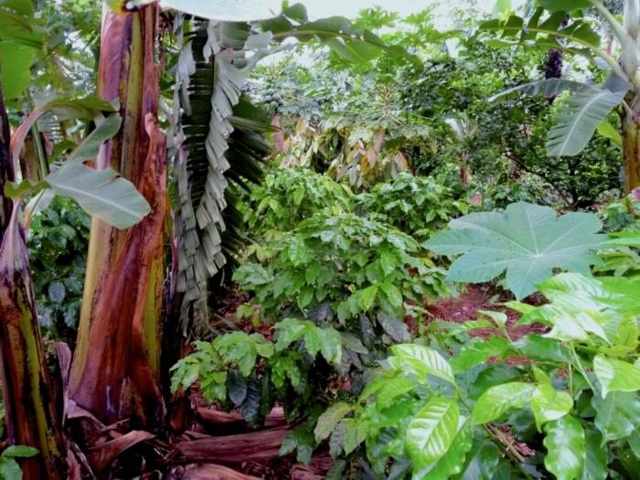 Sistema Agrofloresta Café Banana