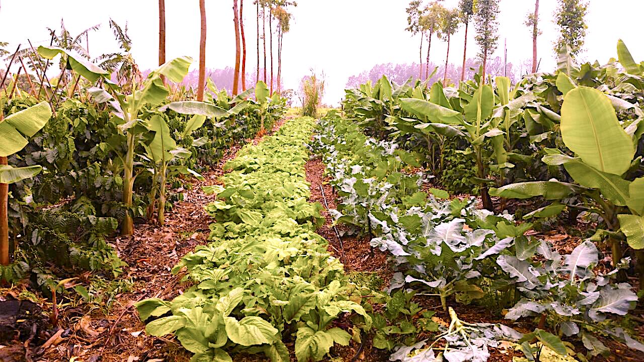 Sistema Agrofloresta Implantando com Hortaliças